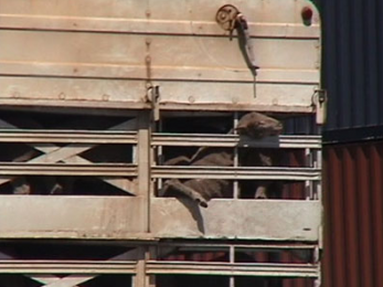 Live export animals suffering and dying