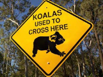 Koala extinction: Death by a million cuts