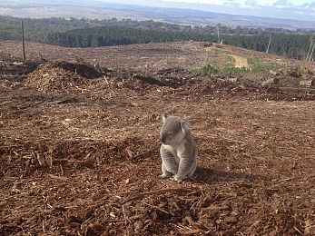 Australia: World leader in deforestation and species extinction