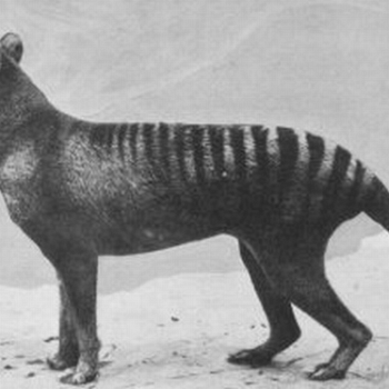 The Tasmanian tiger lives on