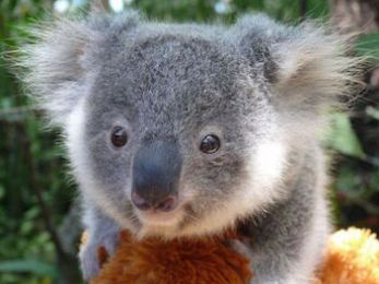 The heartbreaking koala extinction crisis and callous government inaction