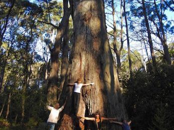 Senseless logging of Strathbogie Ranges is wiping out greater gliders
