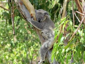 The Turnbull Government's wanton koala destruction