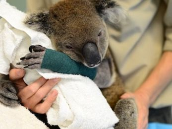 Koala wipe out: Government apathy and the STD killing our national icon