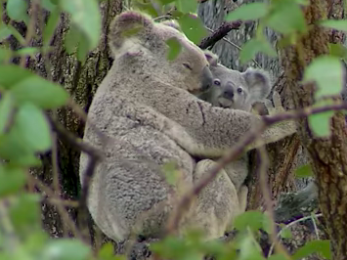 'NSW Koala Strategy' kisses conservation goodbye