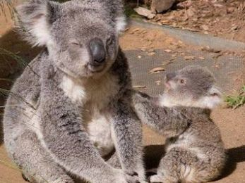 The big koala extinction cover-up