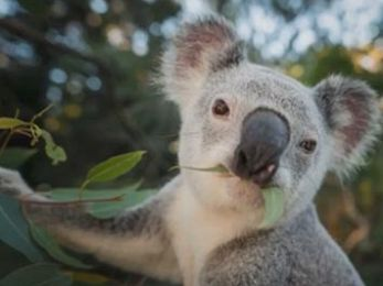 Government hides truth about koala mortality rates