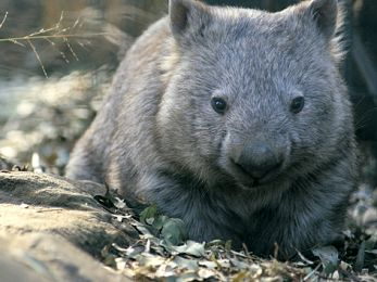 Baird Government sacrifices wombats in quest for woodchips