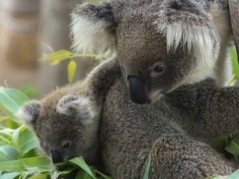 The battle against Shenhua ramps up: Koalas vs Coal incites civil disobedience