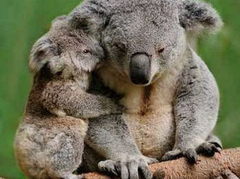 Climate puts squeeze on cuddly koalas