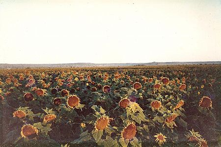 1,000 hectares of sunflowers on managing editor David Donovan''s childhood farm.