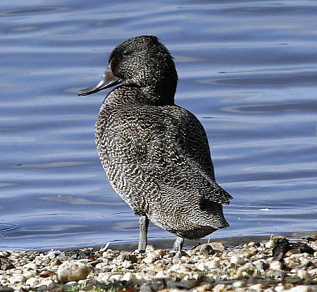 Freckled Duck standing