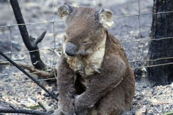 Governments continue to ignore climate change as a cause of koala extinction