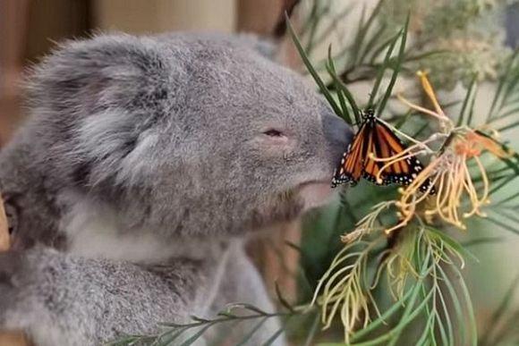 Weak environmental protection laws leave koalas stranded