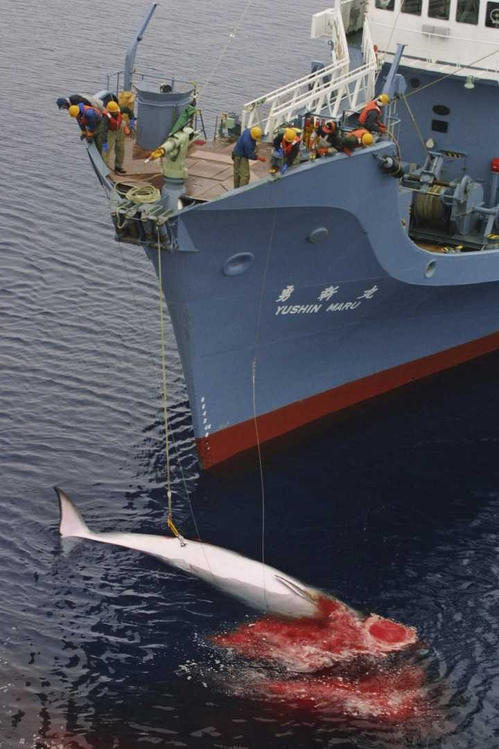 Japan to resume whaling in the Antarctic