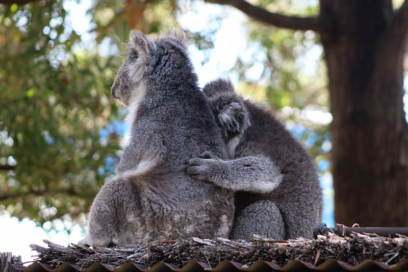 Parliamentary red tape hinders the survival of koalas