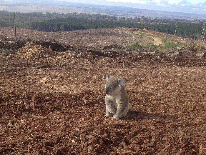 Risultati immagini per deforestation australia