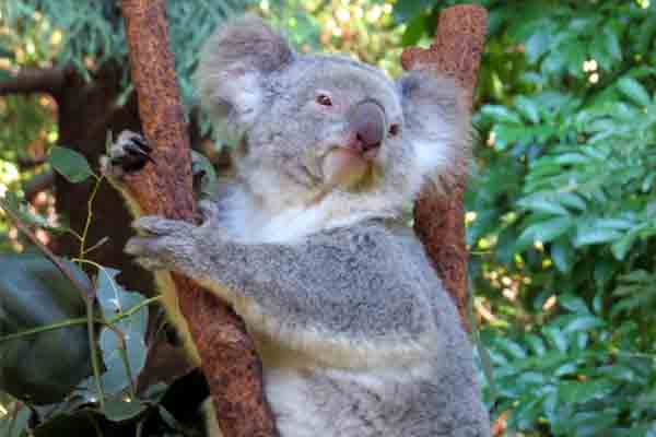 The last of Sydney's koalas are doomed