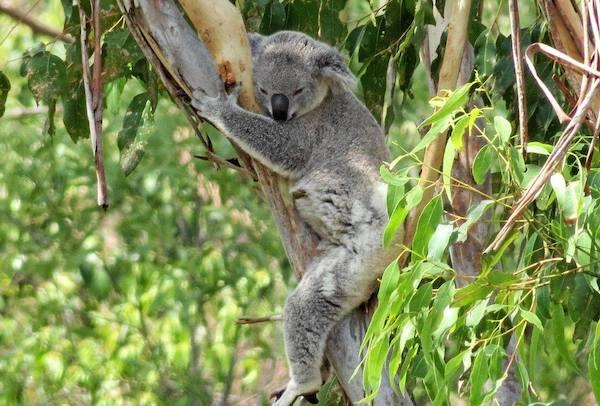 Slaughtering koalas — the Liberal Party way