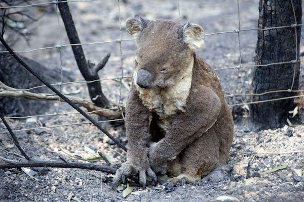 Fires last straw for already dying koalas