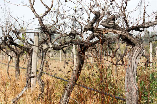 Access to water becomes difficult as a vineyard succumbs to drought